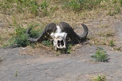 Cranio del bisonte Fotografie Stock Libere da Diritti