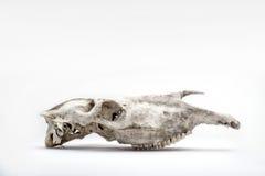 Cranio del cavallo Fotografie Stock Libere da Diritti