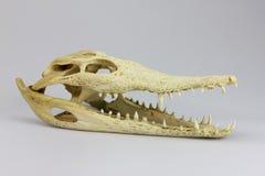 Cranio del coccodrillo Fotografia Stock
