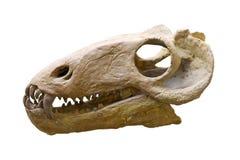 Cranio del dinosauro Immagini Stock Libere da Diritti