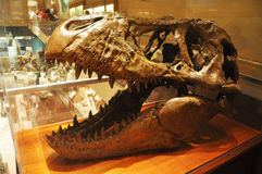 Cranio del dinosauro nel museo di Washington Immagini Stock