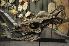 Cranio del drago Immagini Stock Libere da Diritti