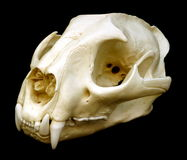 Cranio del puma Fotografie Stock