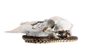 Cranio del serpente Fotografie Stock Libere da Diritti