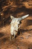 Cranio del toro Fotografia Stock