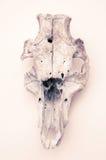 Cranio dell'animale di natura morta Fotografia Stock Libera da Diritti