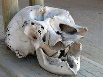Cranio dell'elefante su esposizione Immagine Stock Libera da Diritti