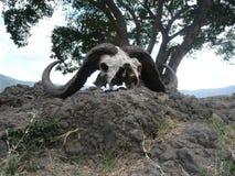 Cranio della Buffalo Immagine Stock