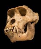 Cranio della gorilla Fotografie Stock