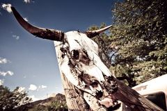 Cranio della mucca con i corni Fotografia Stock