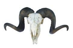 Cranio della ram con il grande corno Fotografia Stock Libera da Diritti