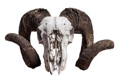 Cranio della ram isolato immagine stock libera da diritti