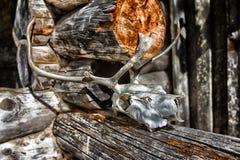 Cranio della renna fotografie stock