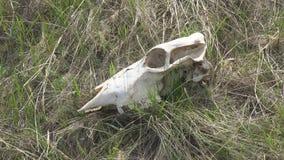 Cranio di grande animale sull'erba video d archivio
