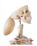 Cranio di mentalità aperta Immagine Stock