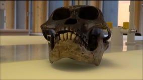 Cranio di modello del afarensis Luci dell'australopiteco in un laboratorio stock footage