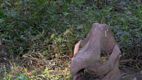 Cranio di rinoceronte sulla terra in foresta che affoga concetto stock footage