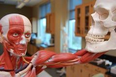 Cranio di scheletro muscoloso della tenuta Immagini Stock Libere da Diritti