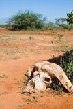 Cranio di un bufalo Fotografia Stock