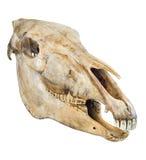 Cranio di un cavallo Fotografia Stock Libera da Diritti
