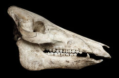 Cranio di un maiale Immagini Stock