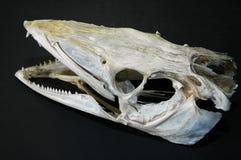 Cranio di un pesce di merluzzo Fotografia Stock