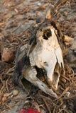 Cranio di una mucca Immagine Stock