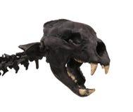 Cranio di una tigre del dente della sciabola isolata Immagine Stock