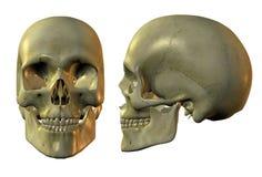 Cranio dorato Immagine Stock
