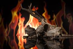 Cranio seguente dei cervi della lucertola di drago Fotografie Stock