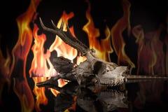 Cranio seguente dei cervi della lucertola di drago Immagini Stock
