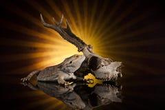 Cranio seguente dei cervi della lucertola di drago Fotografie Stock Libere da Diritti