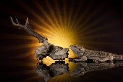 Cranio seguente dei cervi della lucertola di drago Immagine Stock
