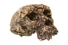 Cranio Toumai di tchadensis di Sahelanthropus Scoperto nel 2001 nel deserto di Djurab in Repubblica del Chad del Nord, Africa cen Fotografia Stock Libera da Diritti