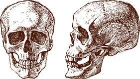 Cranio umano Immagini Stock Libere da Diritti