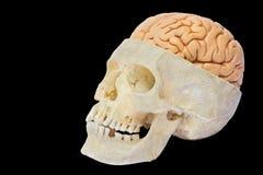 Cranio umano con i cervelli su fondo nero immagini stock