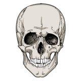 Cranio umano con la corona floreale Immagini Stock