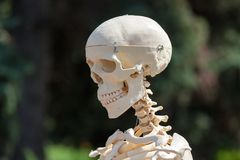 Cranio umano di plastica Fotografie Stock