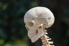 Cranio umano di plastica Immagini Stock