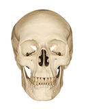 Cranio umano isolato su bianco Fotografie Stock