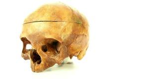Cranio umano isolato su fondo bianco per istruzione medica archivi video