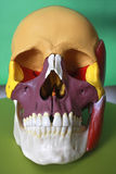 Cranium. Teaching mateial: anatomy model of a head royalty free stock images