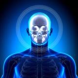 Cranium, czaszka, żuchwa/- anatomii kości ilustracja wektor