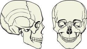cranium istota ludzka ilustracja wektor