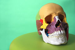 Cranium model Stock Image