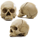 Craniums. Homo sapience cranium isolated on white background Royalty Free Stock Image