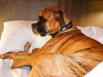 Cranky brindle boxer takes a nap in bed Stock Photography