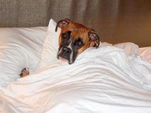 Cranky brindle boxer takes a nap in bed Stock Image