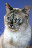 Cranky cat portrait. With blue background Stock Photo