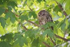 Cranky Eastern Screech Owl In Tree Stock Image